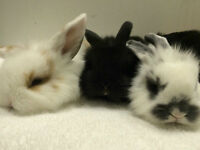 Gentle Lop bunnies