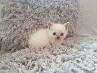 Ragdoll cross British short hair kittens