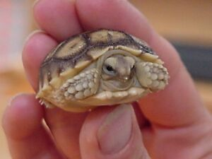 Baby Sulcata $450 and Baby Redfoot $500