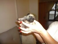 Pug puppies 2 black and fawn,Kennel club registered pedigree 1 boy 1 girl