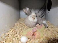 COUPLE COCKATIEL PROUVE 18 mois + cage Hagen + nid + 4 oeufs