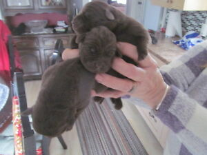 CKC Registered Chocolate Lab Pups For Sale