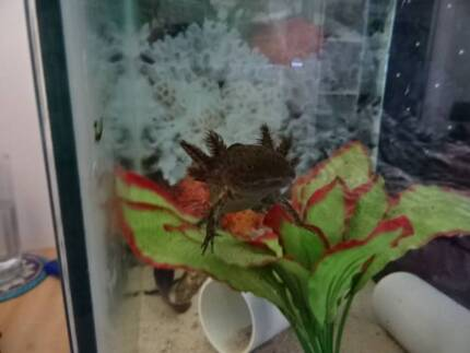 Juvenile Axolotl's for sale Newcastle