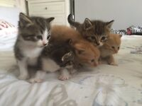 Kittens for sale - Tabby, Tabby & White and Ginger- ready to leave mum now