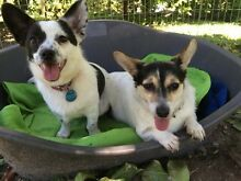 Adopt this SWEET Mum & Son pair - Chihuahua x Mini Foxy Ingleside Warringah Area Preview