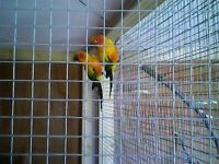 Sun conures cock and hen bird 2 year old