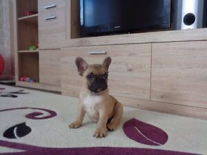 FINEST FRENCH BULLDOG PUPPIES