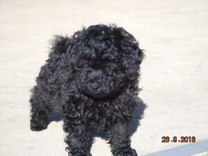 Toy Poodle Male Black Windsor Downs Hawkesbury Area Preview