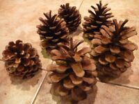 Fir Cones for Crafting