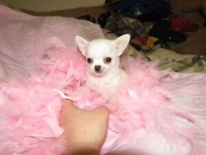 Chihuahuas femelles miniatures enr. ckc
