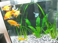 Very Healthy Large (Over 6 inches) Good Quality Goldfish