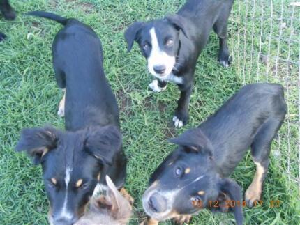 Border Collie/kelpie x New Zealand Hunter | Dogs & Puppies | Gumtree ...