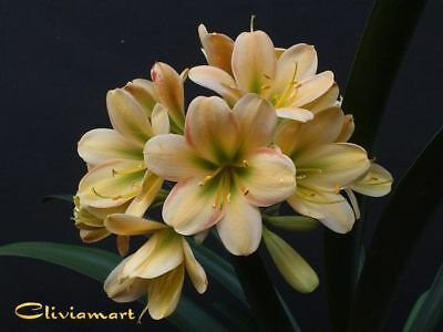 Clivia No. 92 777 Peach Brocade X 777 Tranquility (A Seedling With 3/5 Leaves)