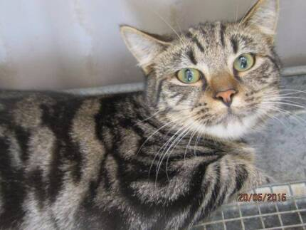 Young silver grey tabby male - urgent need for new family @pound Blacktown Area Preview