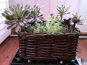 Variety of succulents in a rectangular dark cane basket Mosman Mosman Area Preview