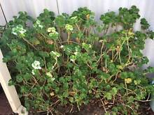 Geraniums for sale Manning South Perth Area Preview