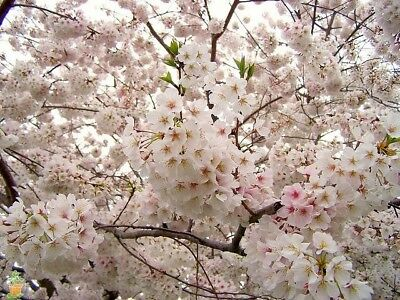 Yoshino Flowering Cherry Tree   Live Established Rooted   3 Plants In 2 5  Pots