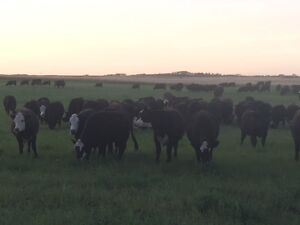 Bred Heifers - Black Angus and F1 Angus x Hereford - Home Raised