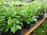 Laurel plants for a hedge or feature trees in the garden