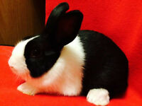 Baby dutch rabbits - Show quality with pedigree
