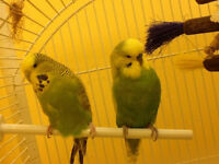FANCY, REGULAR AND ENGLISH BUDGIES