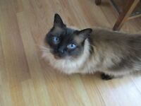INDOOR MALE RAGDOLL CAT LOOKING FOR A NEW OWNER WHO CAN GIVE HIM PLENTY OF CUDDLES