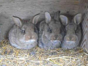 Cute Flemish Giant Bunnies (prize reduced)