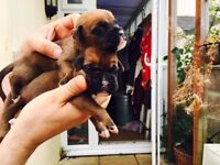 Amazing litter of boxer puppies only one red boy left and one red brindle boy