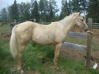 2014 APHA solid Registered Fillies Palomino, buckskin and Bay