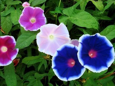 Flower Seed  Early Call Morning Glory Seeds  Fresh Seed  Free Shipping