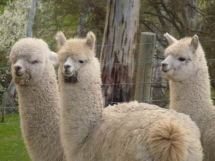 BEAUTIFUL  PET  ALPACAS Adelaide CBD Adelaide City Preview