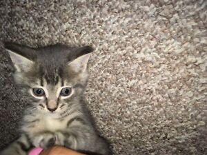 Super cute kittens almost ready for rehoming!! Edmonton Edmonton Area image 3