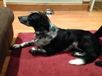 beautiful female collie cross 6 months, chipped and vaccinated