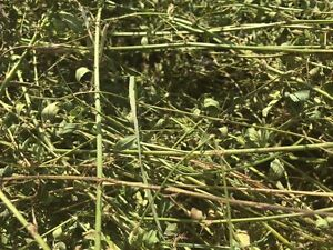 alfalfa/timothy excellent quality hay and oats greenfeed