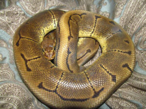 Ball Pythons - Looking for Good Homes