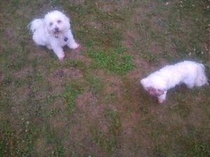 Kaya - Lost Female Dog - White, Cream and Beige Poodle Mix Breed
