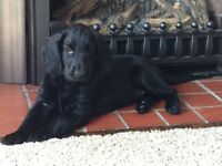 Show Quality Flat Coated Retriever Puppy to approved home
