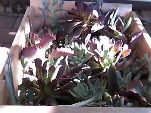 Mixed Succelent Collection - minimum 6 varieties Mosman Mosman Area Preview