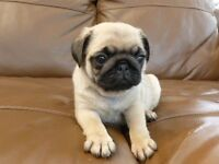WANT a pug puppy