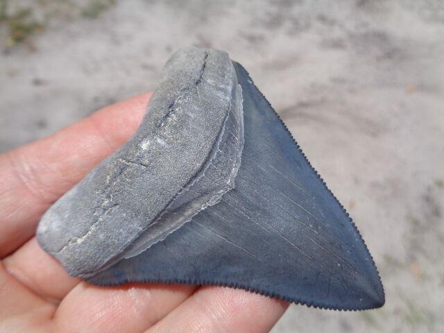 Chubby shark ancient teeth men with