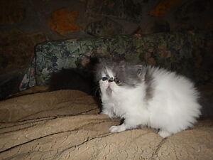 Persian Kitten adorable Boy
