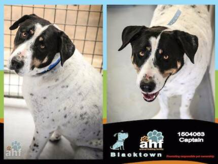 BLACK SPOTTED MALE CATTLE DOG X - NEEDS NEW HOME Blacktown Blacktown Area Preview
