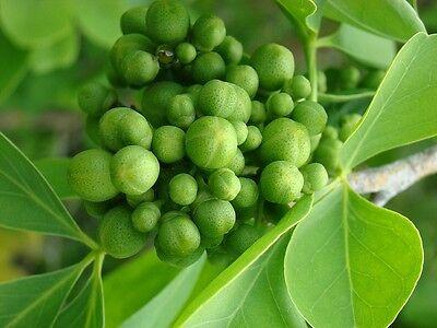 Aegle Marmelos - Bael Fruit / Stone Apple - Rare Tropical Plant Tree Seeds (8) ()