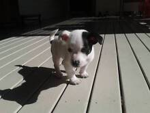 Chihuahua x Mini Foxie Pup Warwick Southern Downs Preview