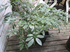 Plante Schefflera Plant