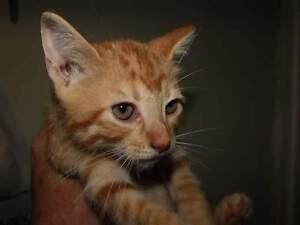 Kittens Need Your Help Sarnia Sarnia Area image 2