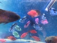 Parrot Cichlids for sale lovely colours live tropical fish