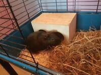2 year old male guinea pig, cage, stand and supplies