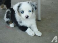 LOOKING for toy/miniature australian shepherd puppy/young adult