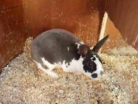 BRC Blue Broken Butterfly Mini Rex Doe Rabbit